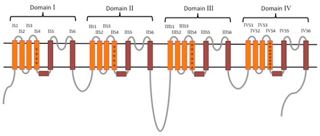 Voltage-gated sodium channel topology