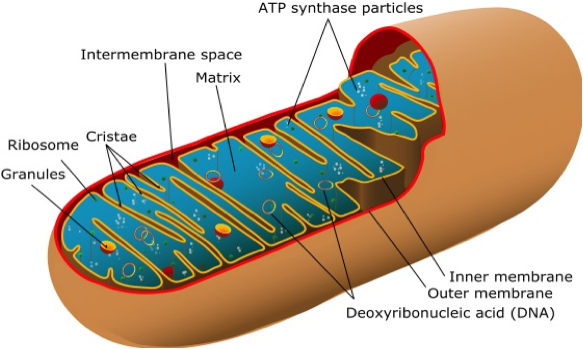 the-animal-mitochondrion